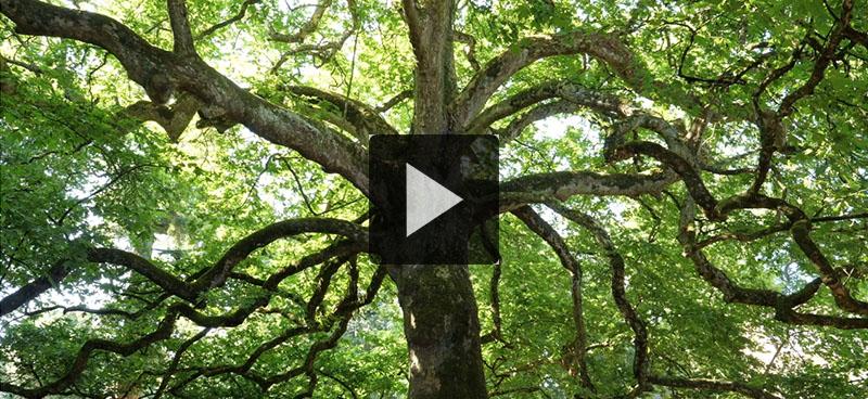 Un film consacré aux arbres remarquables sort dans les salles