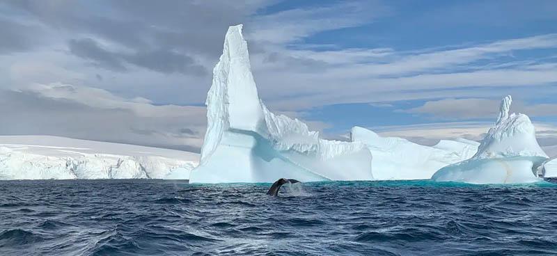 Les chants de la baleine à bosse s'étendent sur des dizaines de kilomètres. Michel André, Author provided